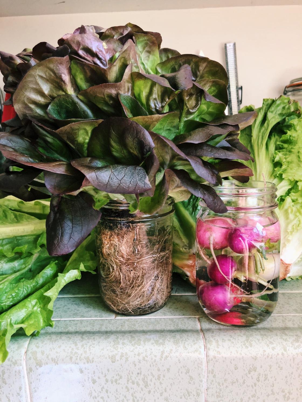 hydroponic Lettuce mason jar