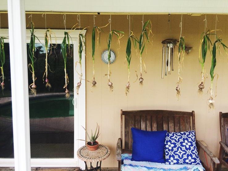 garden garlic drying